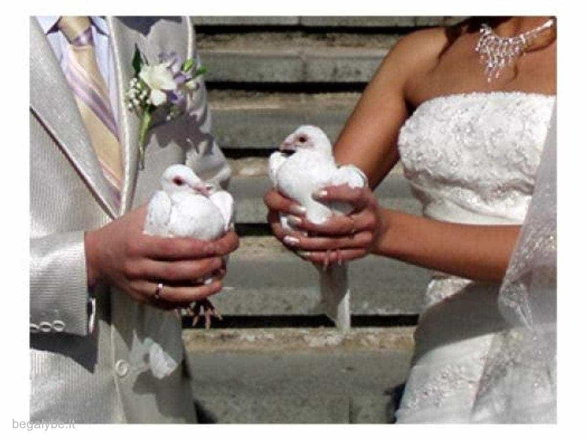 Balti balandžiai-meilės ir ištikimybės simbolis
