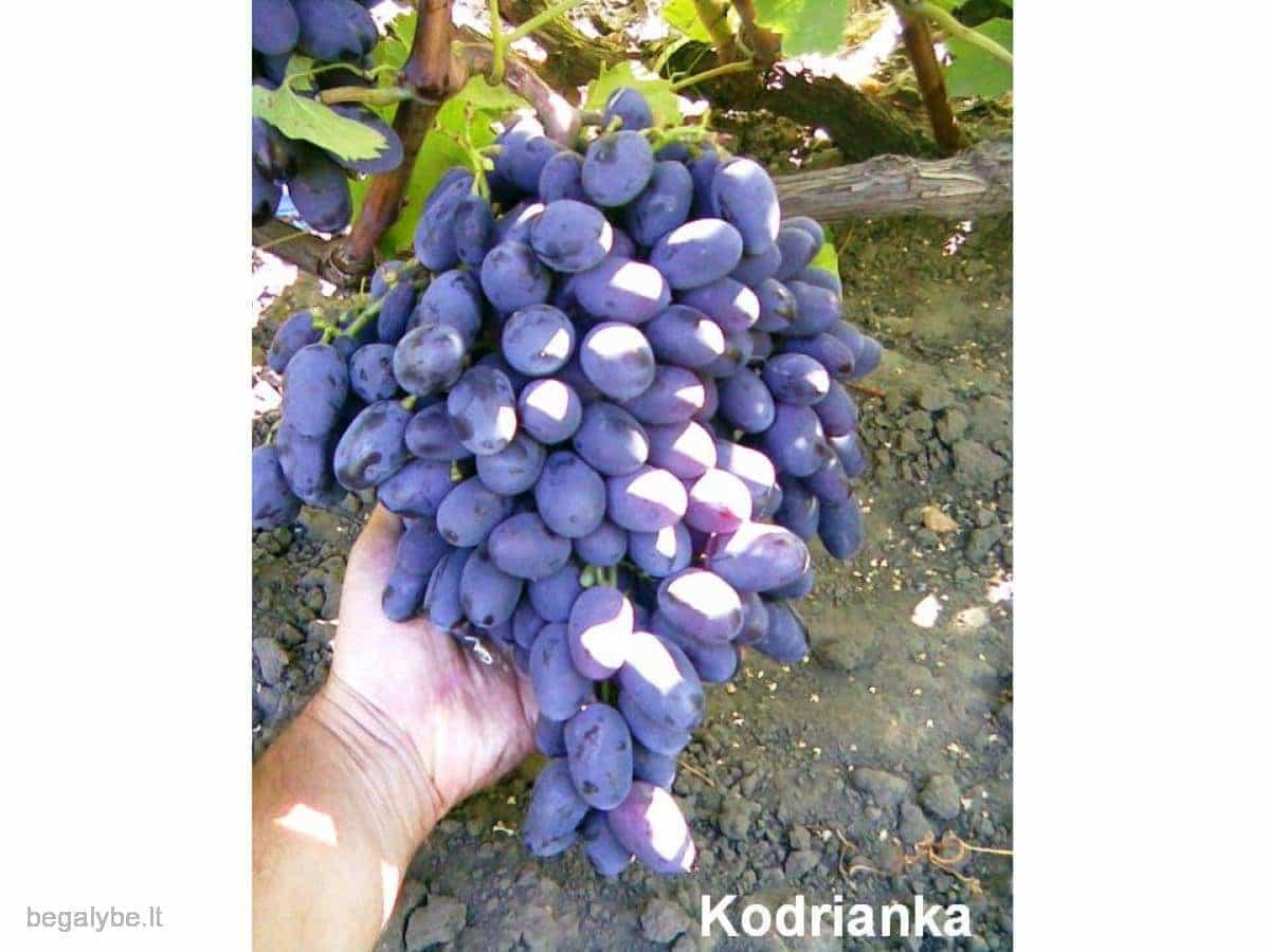 Vynuogių daigai